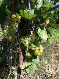 druiven voor witte wijn