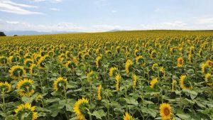 Onderweg naar Genève: een en al zonnebloemen